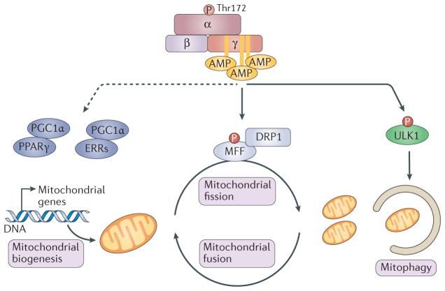 increase mitochondrial biogenesis