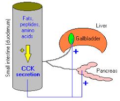 Cholecystokinin Hormone